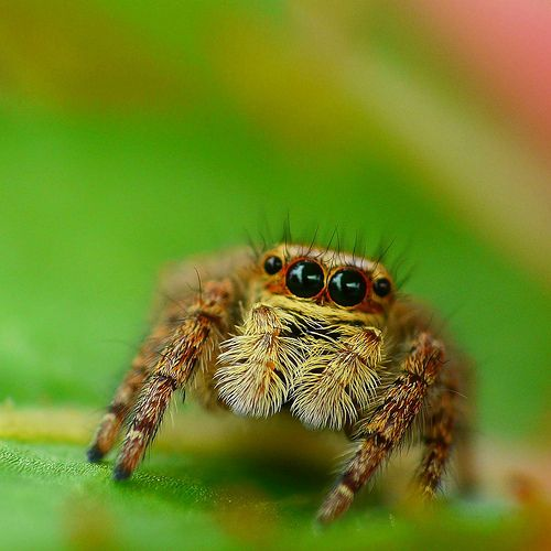 The Most Beautiful Spider In The World The Cute Jumping