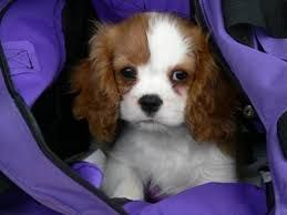 Fantastic Cdog Chubby Adorable Dog - c551480ad61cea7d98ac8d34724f10ad  Snapshot_829645  .jpg