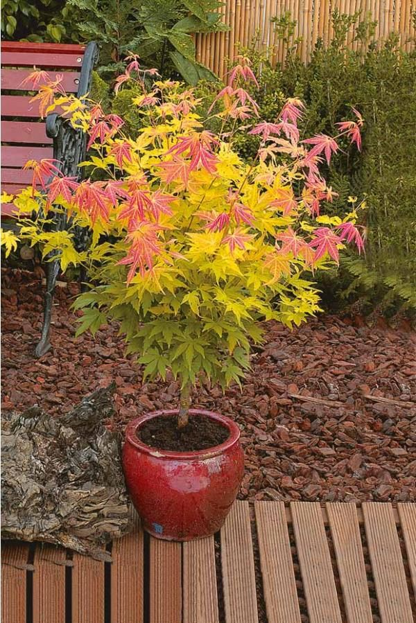 japanese maple 39 orange dream 39 plants pinterest. Black Bedroom Furniture Sets. Home Design Ideas