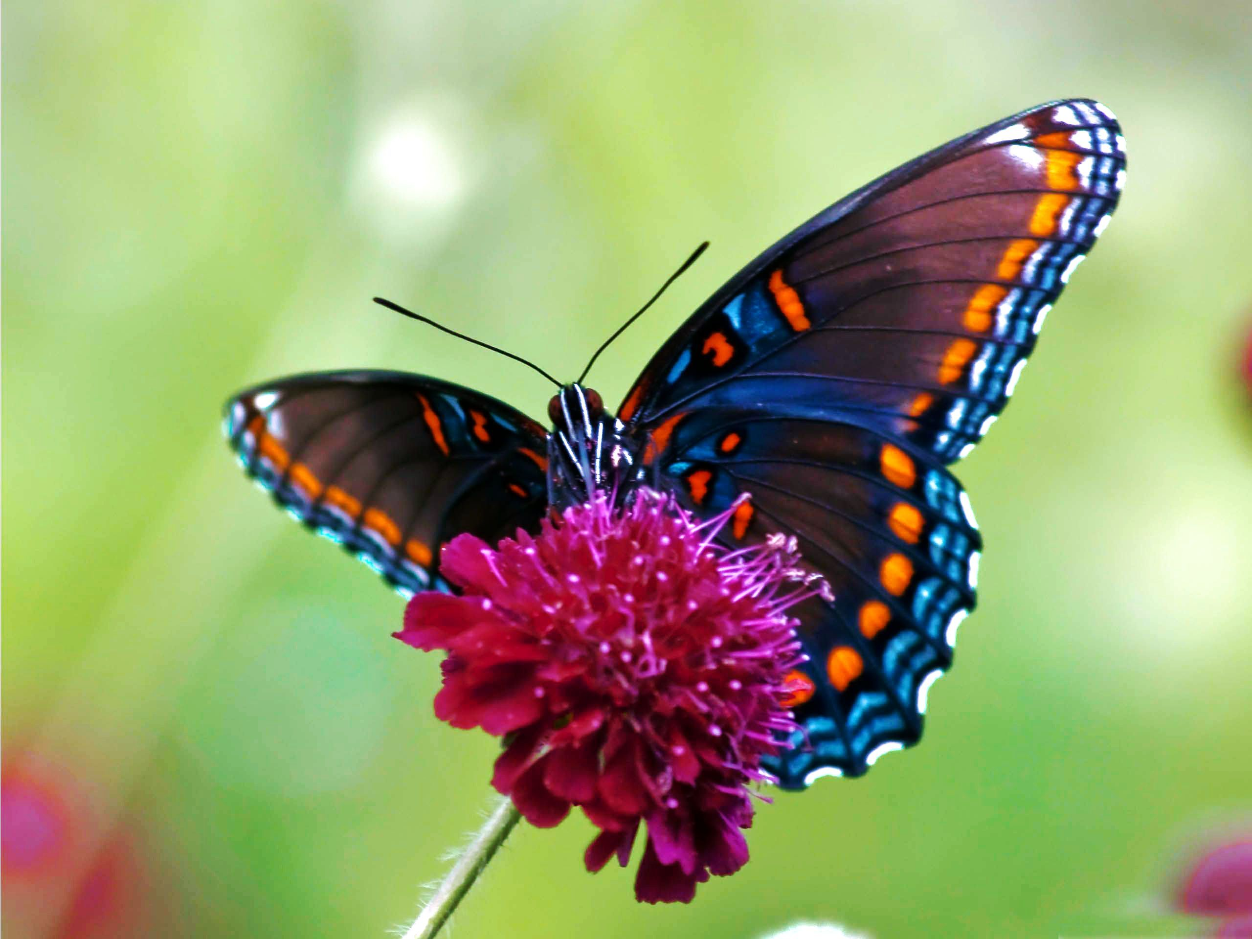 Illustrations Of Butterflies Hd Colorful Butterfly Wallpaper