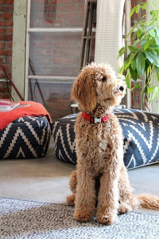 Dog Sitting On Living Room Floor With Ikat Cushions