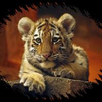 Cute Little Tiger Wilde Katzen Tiere Wild Niedliche Tierbabys