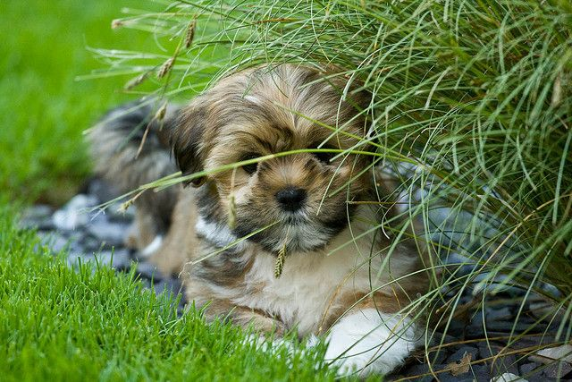 how to train a lhasa apso puppy