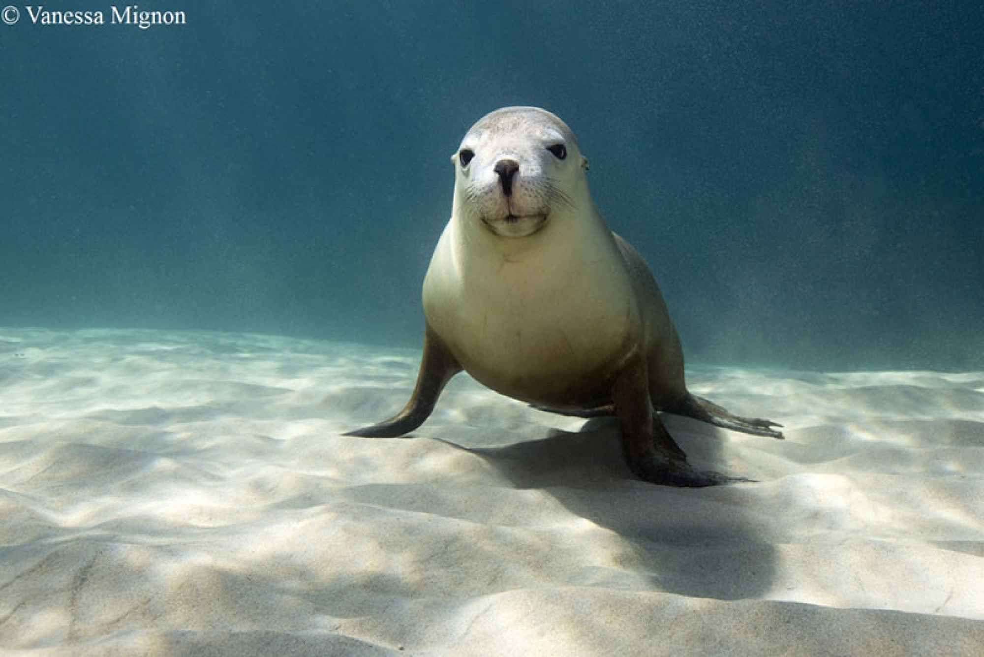Diving With Australian Sea Lions Animals, Endangered