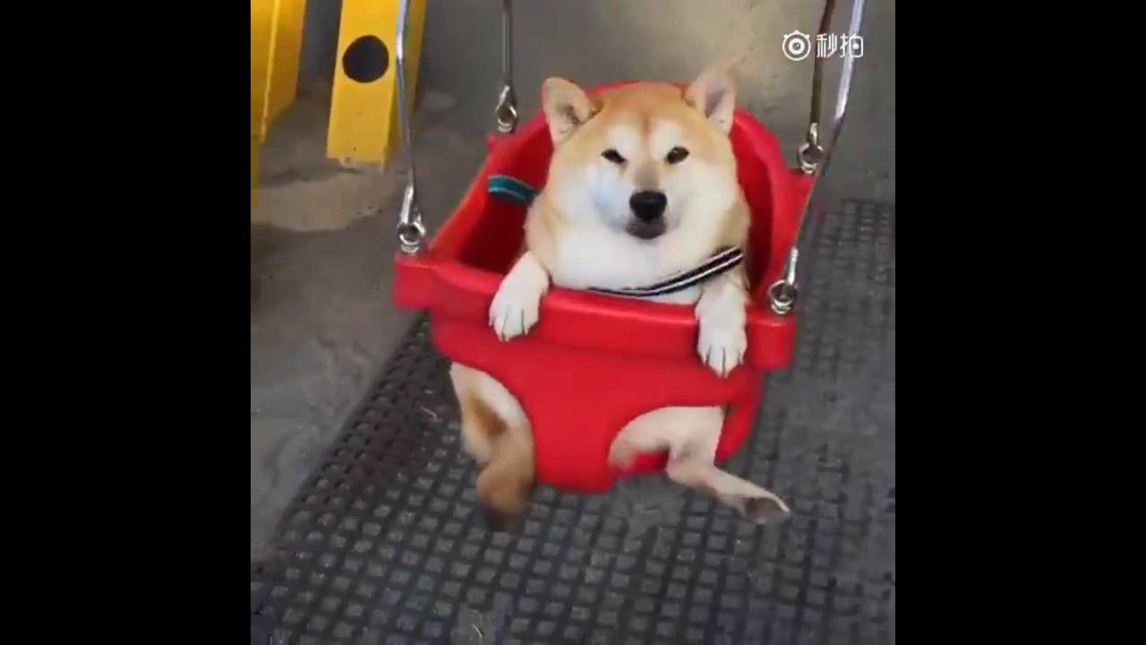 Adorable Smiling Shiba Inu Enjoys Swinging In Playground Shiba Inu Shiba Youtube Animals