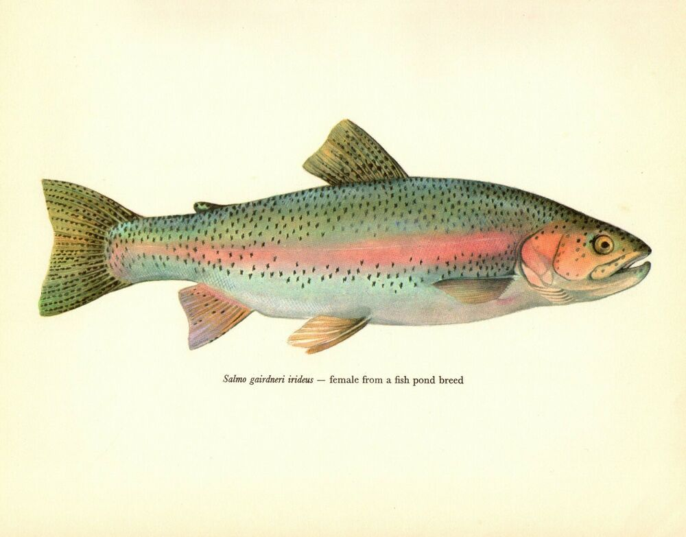 Antique Rainbow Trout Fish Print Female Fish Gallery Wall Art