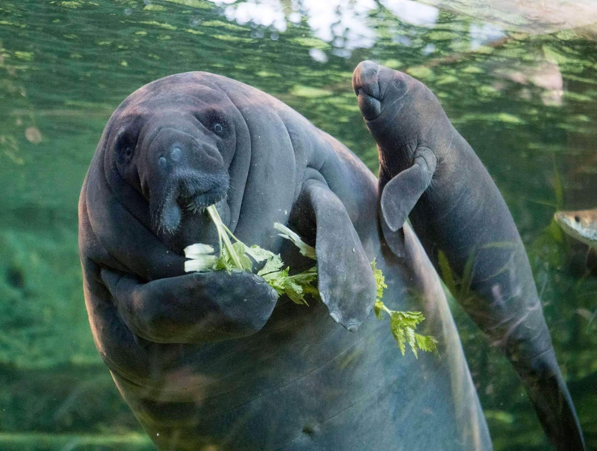 Baby West Indian Manatees are born with molars and can