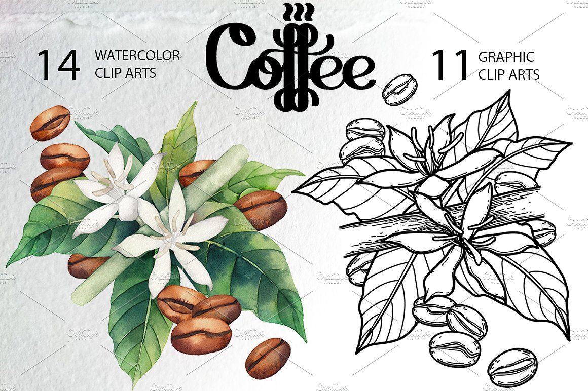 Watercolor and graphic coffee plants Coffee flower