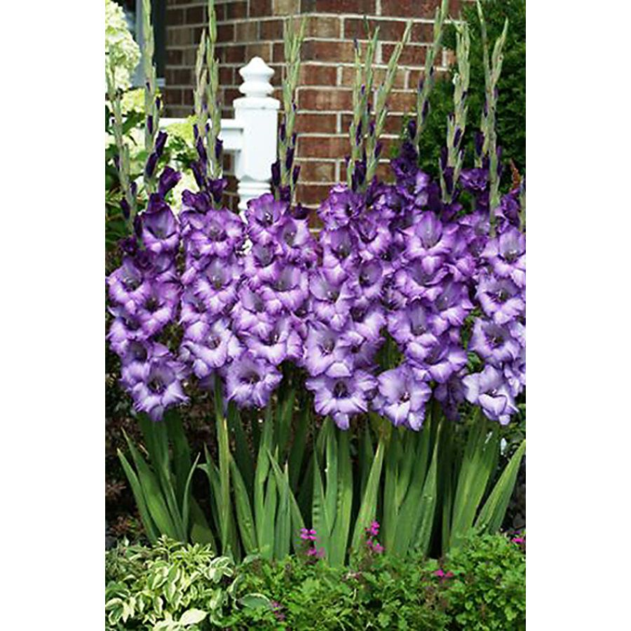 Shop 12 Count Gladiolus Bulbs At Lowes Com Gladiolus Flower Plants Planting Flowers