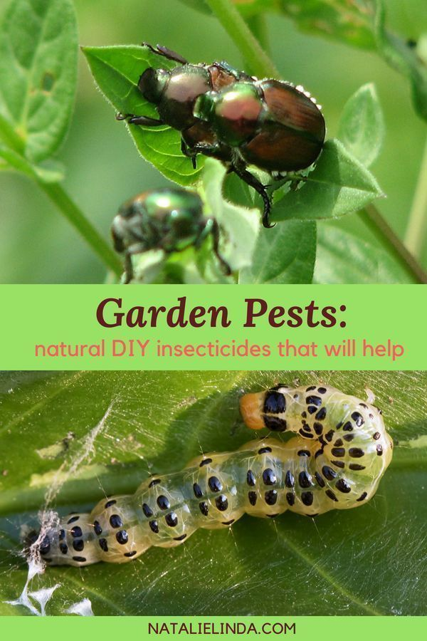 to Keep Garden Pests Out of Your Garden Garden pests like aphids and slugs can wreak havoc on your plants and vegetables! This list of natural DIY insecticides will help you eliminate your pest problem and will also keep your plants safe and toxic-free!Garden pests like aphids and slugs can wreak havoc on your plants and vegetables! This list of n...