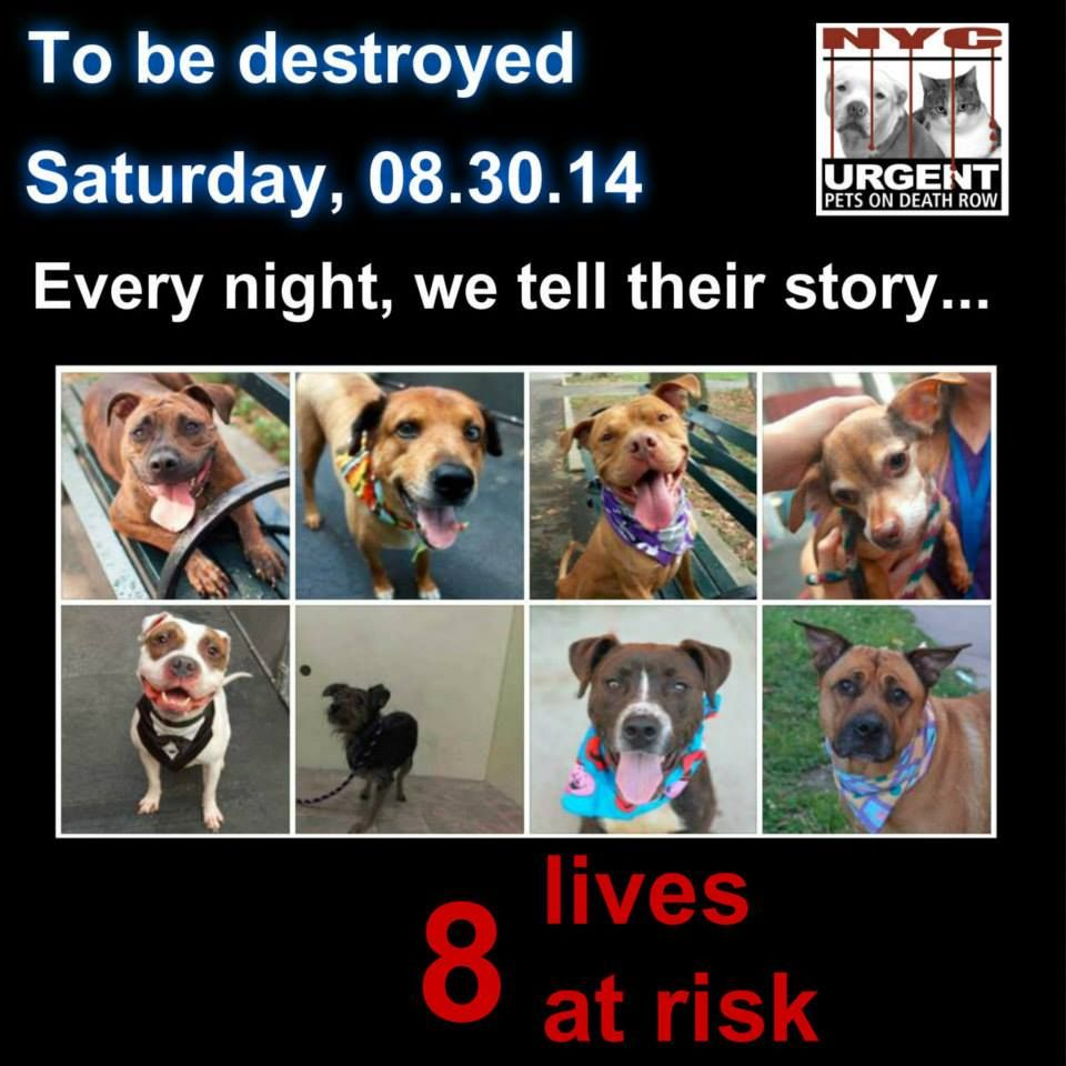 TO BE DESTROYED: 8 Dogs to be euthanized by NYC ACC- SAT 8/30/14 This is a HIGH KILL shelter group. YOU may be the only hope for these pups! ****PLEASE SHARE EVERYWHERE !To rescue a Death Row Dog, Please read this: http://urgentpetsondeathrow.org/must-read/ To view the full album, please click here: https://www.facebook.com/media/set/?set=a.611290788883804.1073741851.152876678058553&type=3