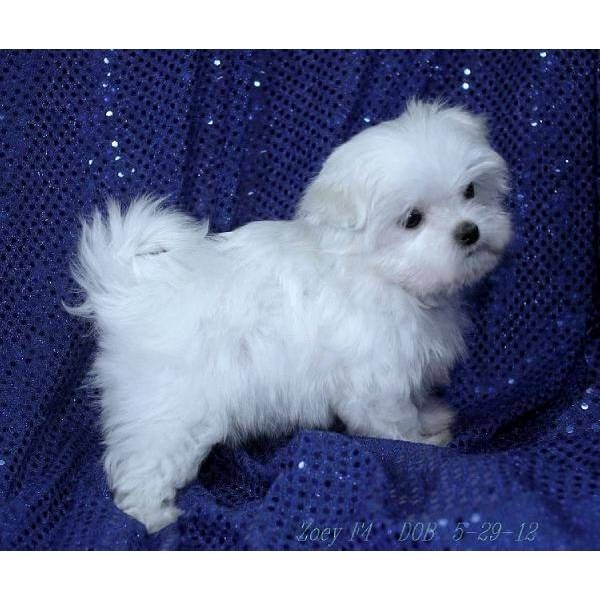 Miss Zoey 3 Lb A Cute Female Maltese Puppy For Sale In Elmwood