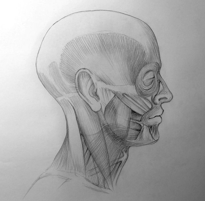 Anatomy of the Skull - Drawing Academy Video Lesson | Art ...