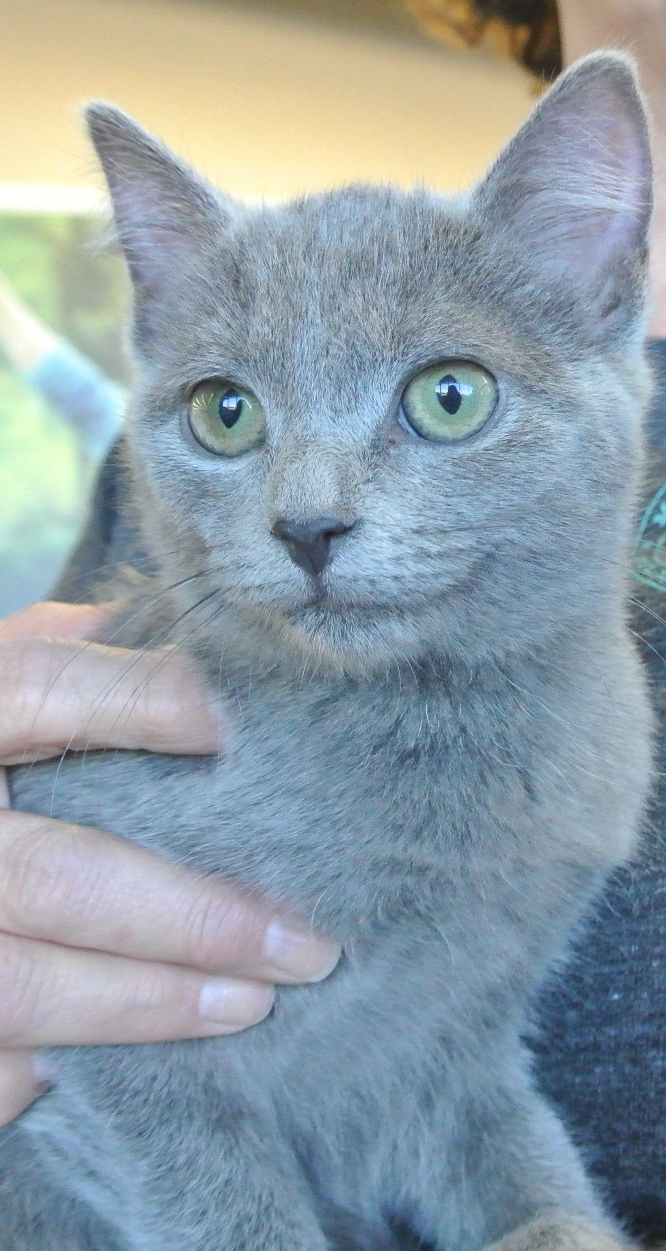 Adopt Zelda on Russian blue, Pets, Cats