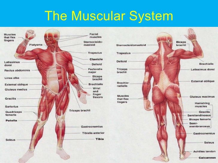 muscular system - google search | clothes/bodies | pinterest, Muscles