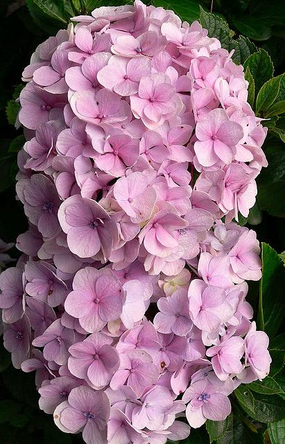 Hydrangea Pink Hydrangea Hydrangea Beautiful Flowers