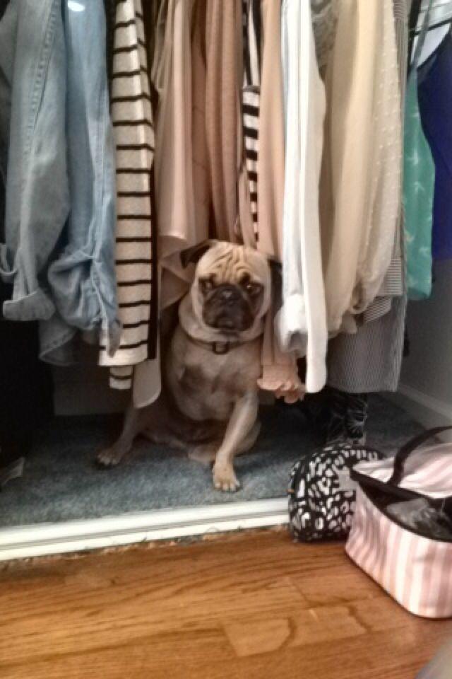 Hiding in the closet | Puglife | Wardrobe rack, Closet, Pug life