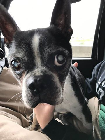 Boston Terrier Dog For Adoption In Huntington Beach Ca Adn