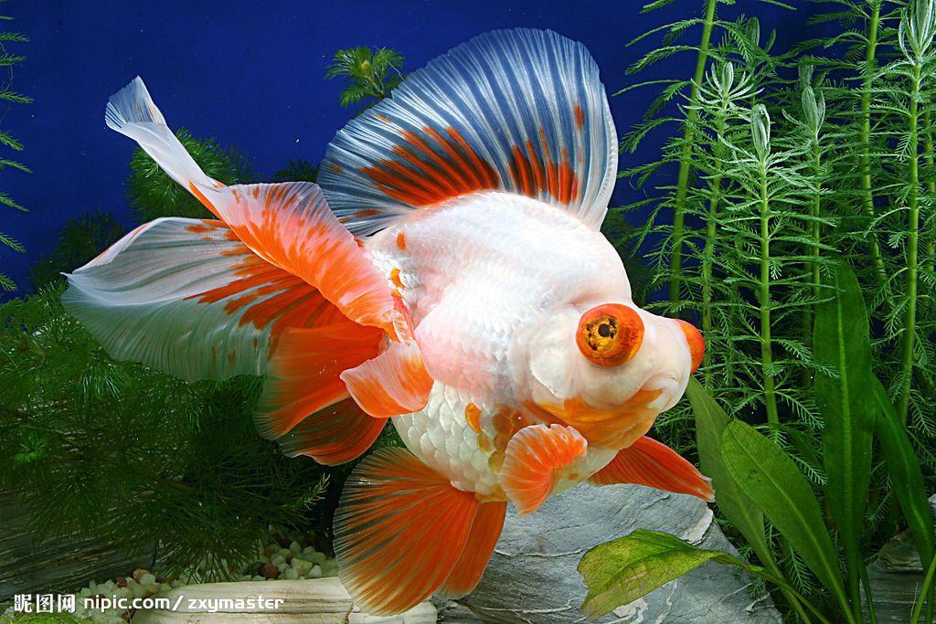 Gold Fish Ryukin Aquarium Fish Freshwater Saltwater