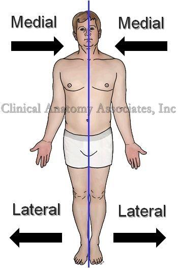 Resultado de imagen para medial y lateral anatomia ejemplos | medial ...