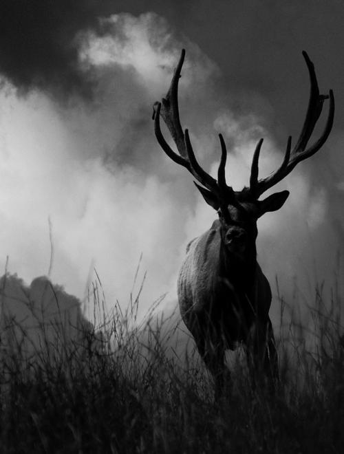 Black deer – black and white photographic winter artwork ...