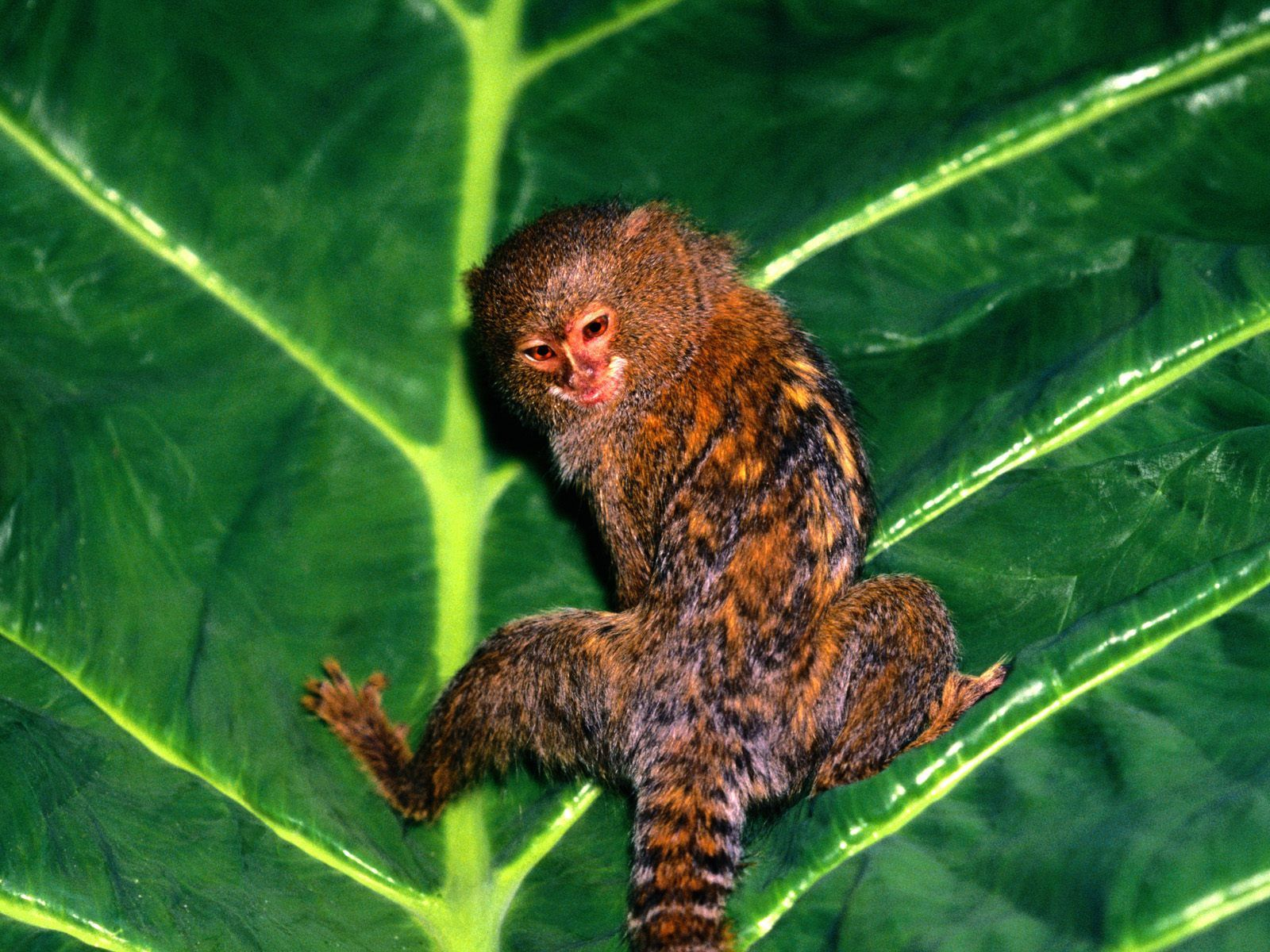 Pygmy Marmoset Wild Life Animal Pygmy Marmoset Monkey Wallpaper Animals