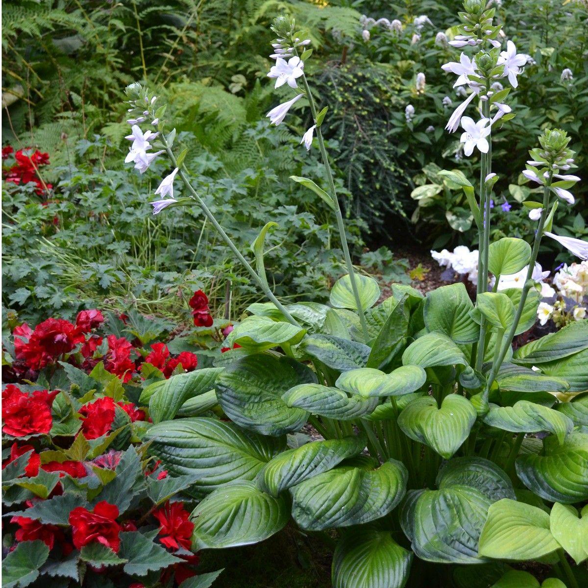 green border garden plant 3 Hosta Old Glory sport of Hosta /'Glory/'  gold leaves