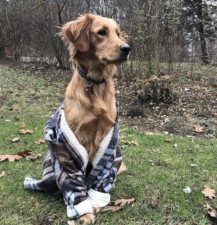 GoldenRetriever Dog ILove Golden retriever, Dogs