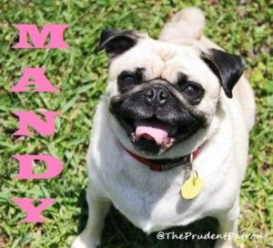 Meet Our Newest Pug Mandy And Read Her Adoption Story