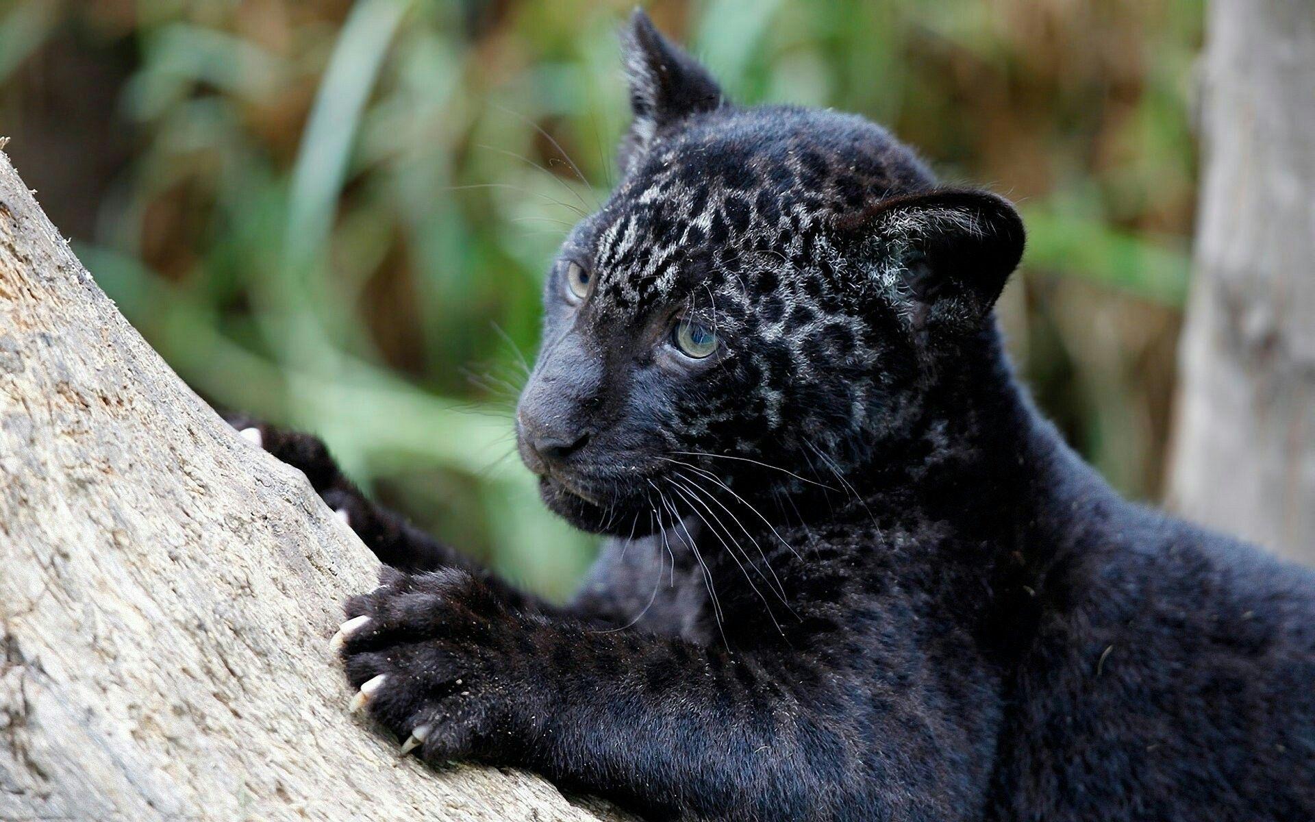 Black Leopard Baby💜 (With images) Black jaguar animal