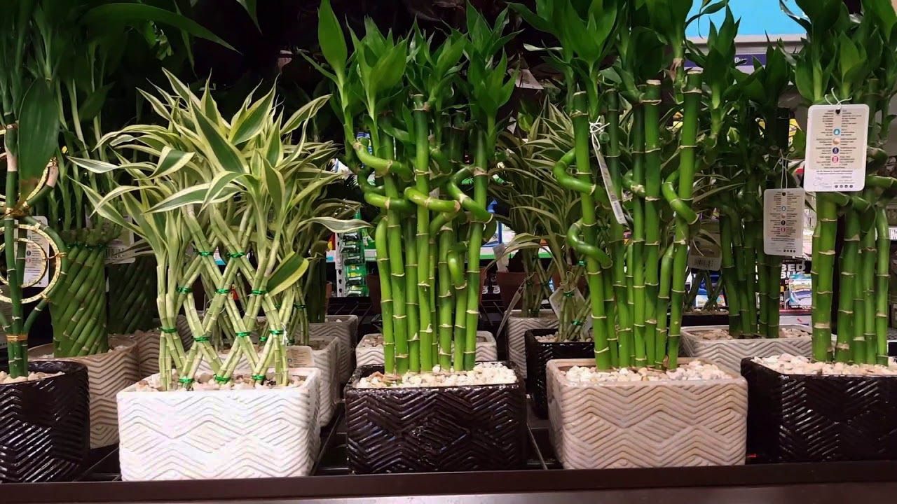 Fashionable Bamboo Plants For Sale That Will Impress You Lucky Bamboo Plants Lucky Bamboo Bamboo Plants