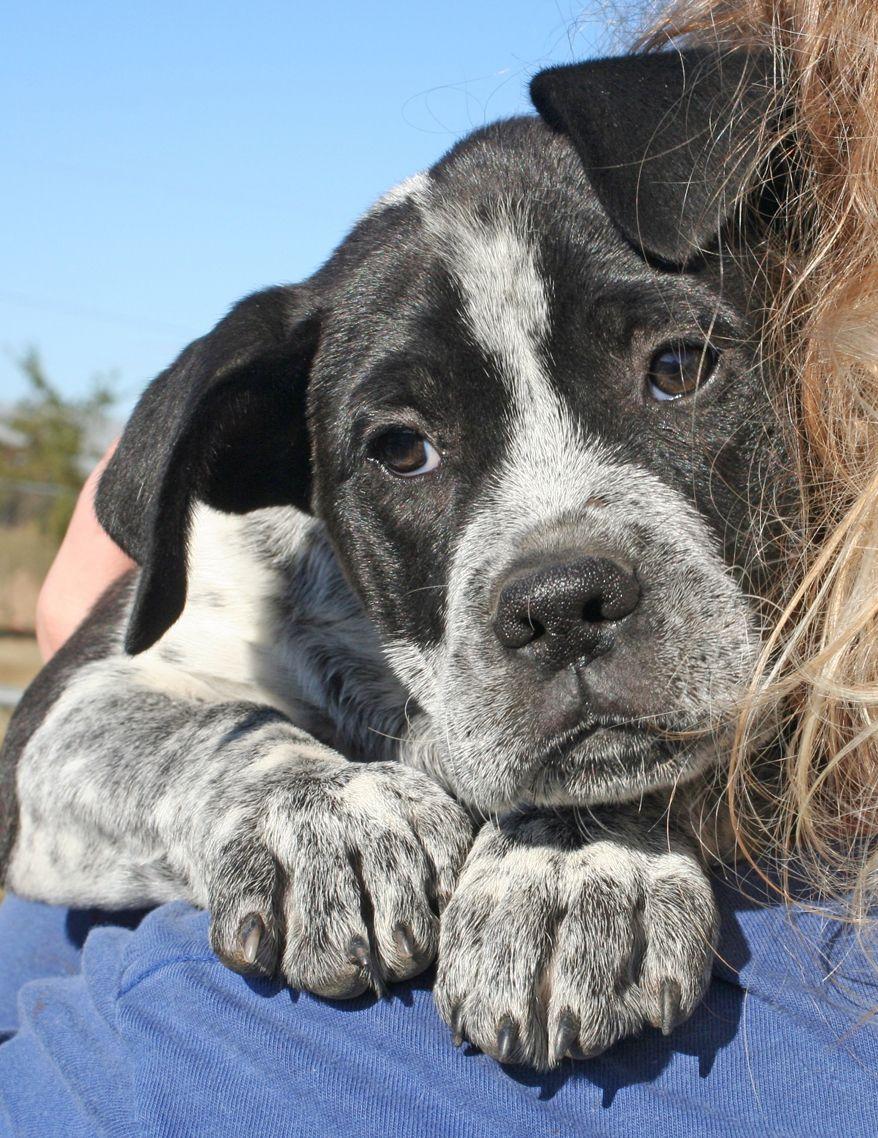 Adopt Paula on Got adopted Dogs, Australian cattle dog