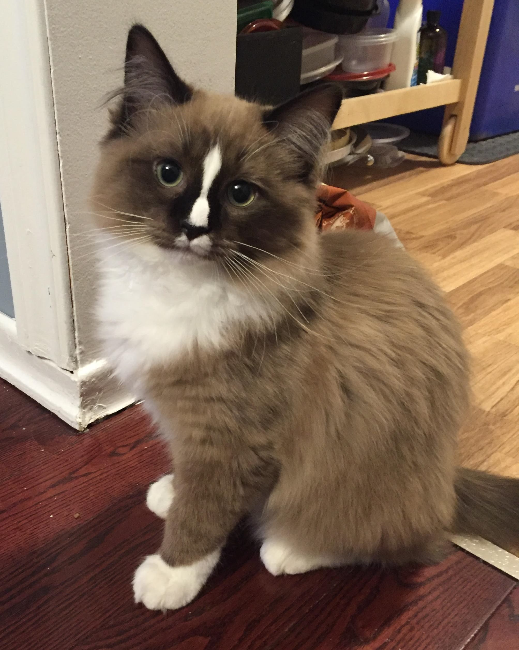 Congrats On Your First Ragdoll And How Awesome That You Are Now Getting A Second Raggy Ragdoll Kitten Ragdoll Cat Kittens