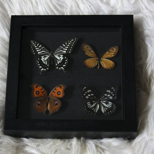 Butterfly frame I made.  Butterfies, frame, taxidermy, interior