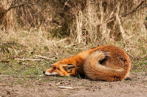 Scared Fox. Photo by Rob Janne