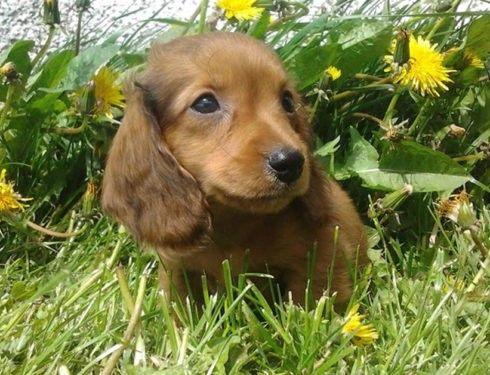 Feeding Your Dachshunds Properly In 2020 With Images Dachshund