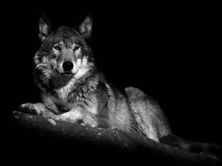 Wolf Black White Shot Desktop Nexus Wallpapers Wolf Black And White Black Wolf Majestic Animals