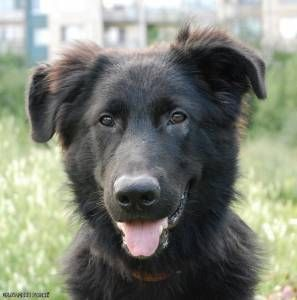 Newfoundland And German Shepherd Cross Don T Like Newfoundlands Very Much But Like This Cross American Shepherd Husky Mix German Shepherd Mix