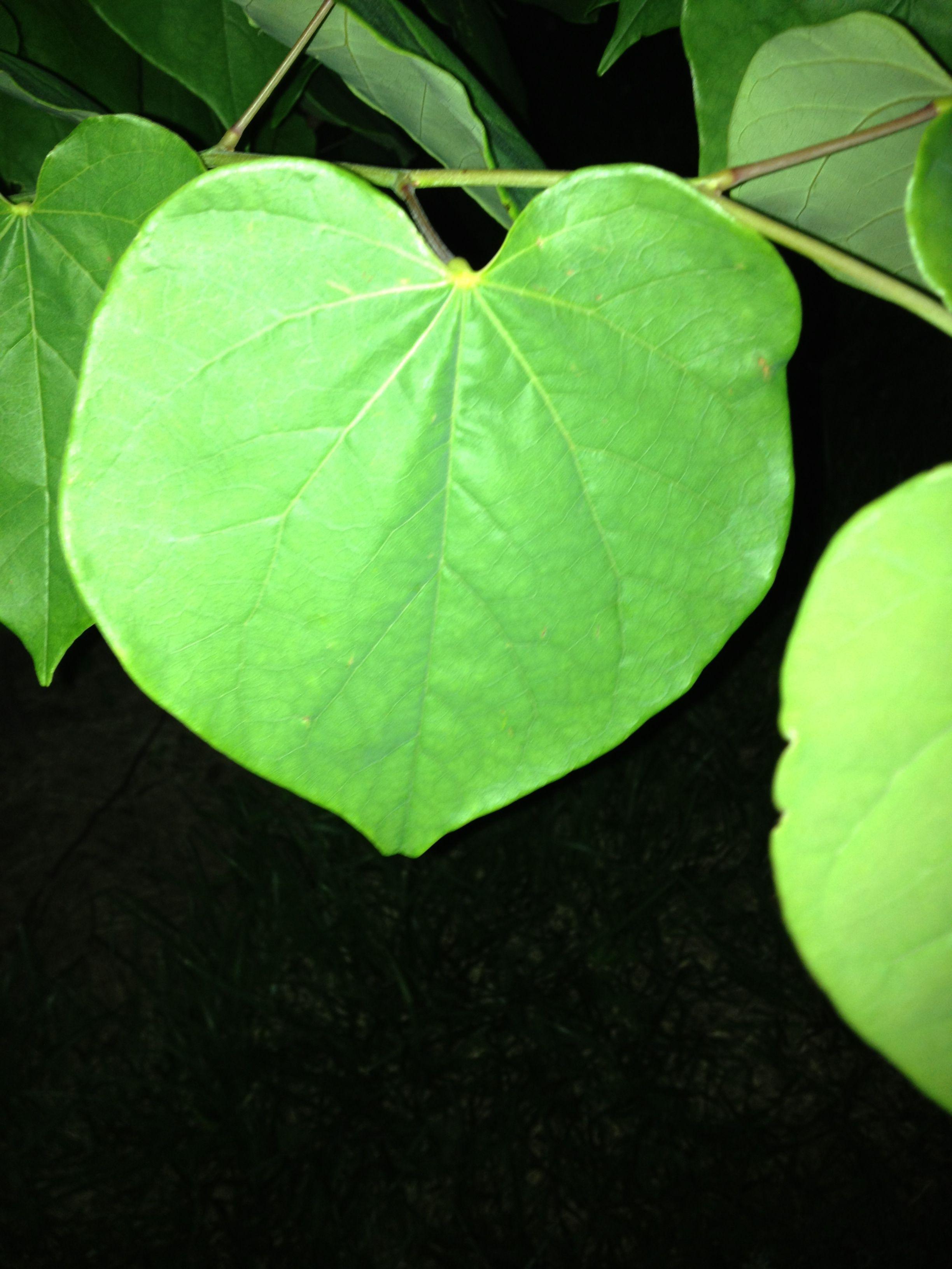 I Love The Heart Shaped Leaves Of The Redbud Tree Redbud Tree