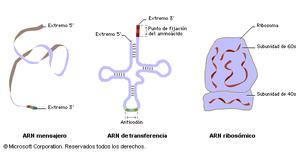 Dogma Central De La Biología Molecular Página Web De