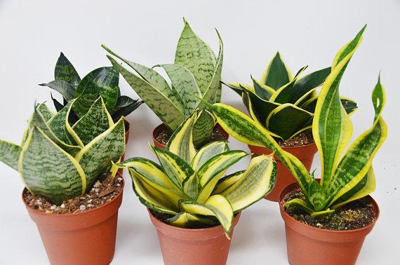 "Dwarf FERNWOOD Snake Plant Sansevieria Impossible to kill Live Plants 4/"""