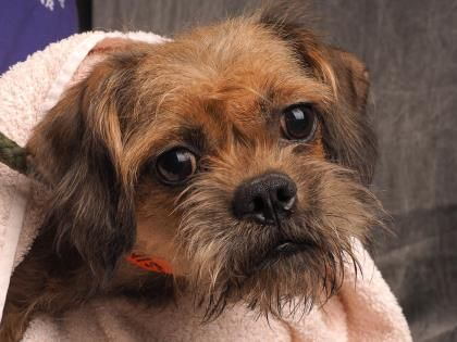 6 29 16 Adopt Joan A Lovely 1 Year Dog Available For Adoption At Petango Com Joan Is A Griffon Brussels Terrier Yorkshire And Is Available Tiere