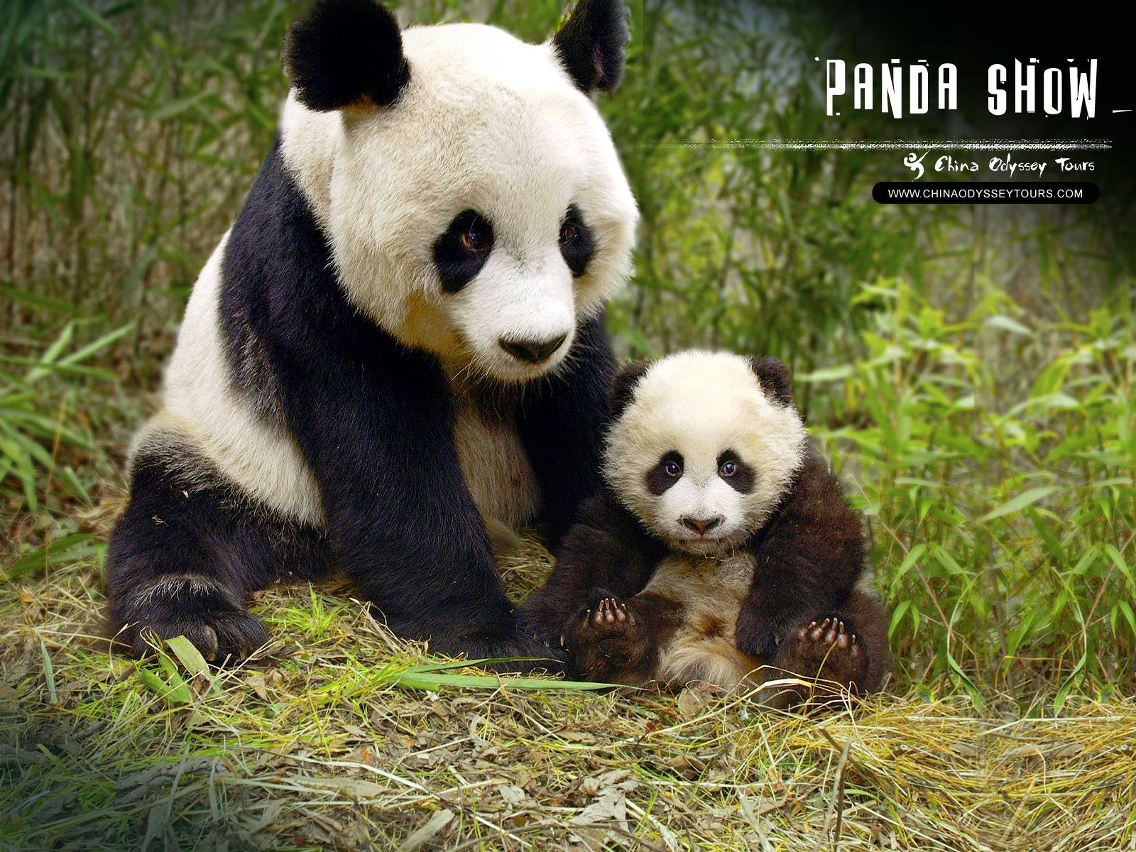 Pandas HD Wallpapers Android Apps on Google Play × Panda