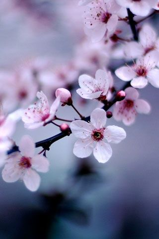 Japanese Cherry Blossoms Nature Photos 5 IPhone Wallpapers For May April Showers Bring Flowers