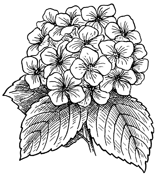 Hydrangea Beautiful Flower Drawings Flower Drawing Coloring Pages