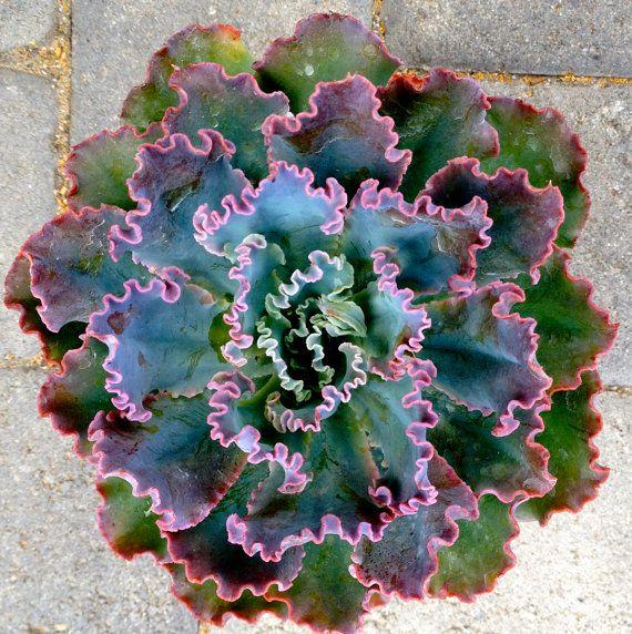 Succulent Echeveria Gibbiflora Hybred In 6 Inch Pot