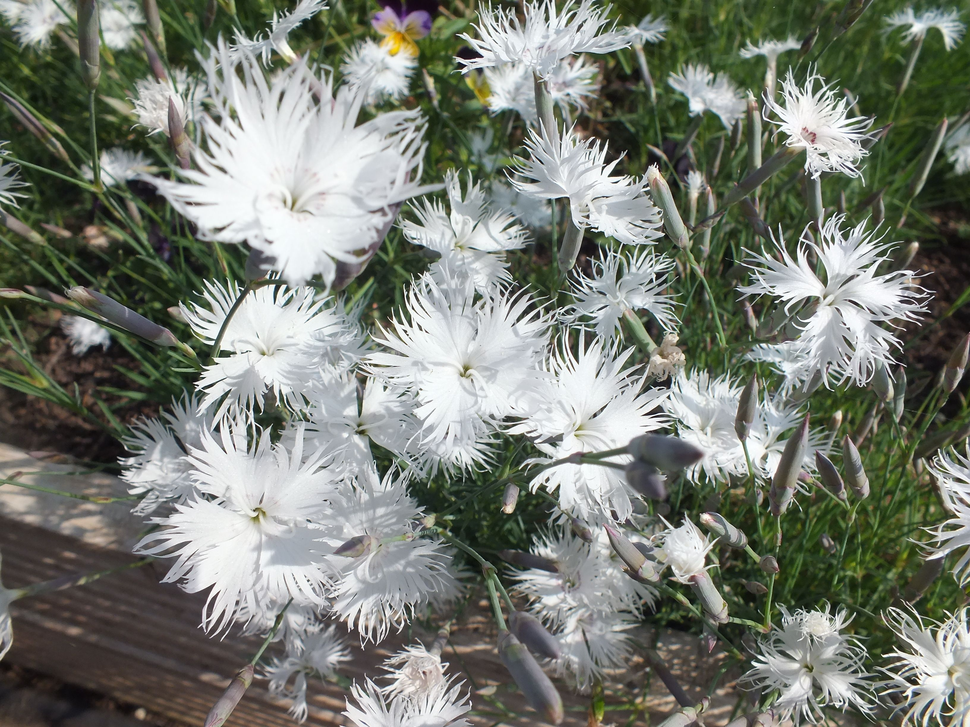 White dianthus edible flowers at maddocksfarmorganics white dianthus edible flowers at maddocksfarmorganics mightylinksfo