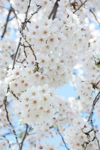 Beautiful Beautiful Flowers Http Beautifulflowerscollectionsbrando Blogspot Com White Flowers White Cherry Blossom Blossom Trees