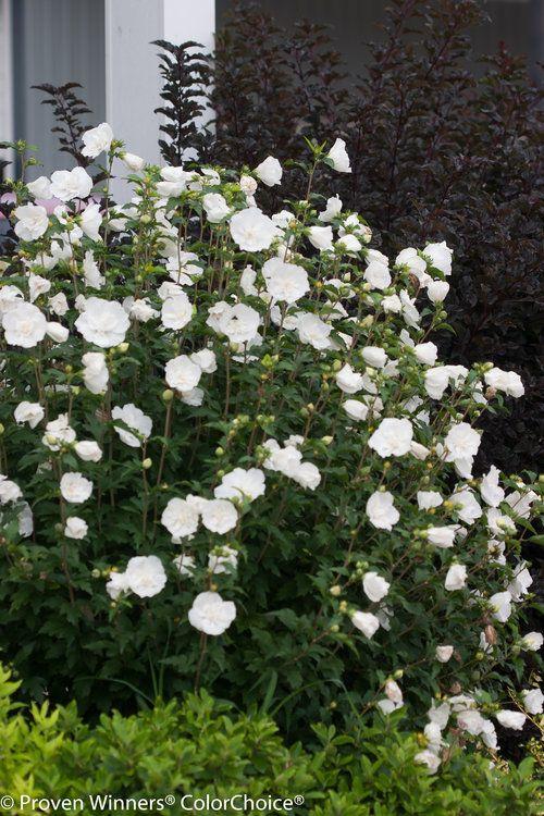 White Chiffon Hibiscus Syriacus Rose Of Sharon Full Sun