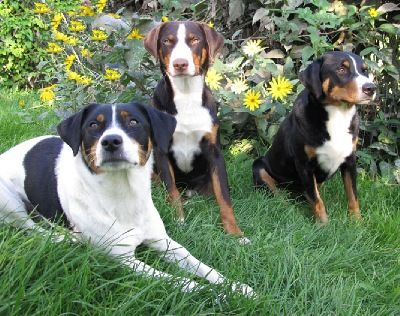 Appenzeller Sennenhund Bouvier Appenzellois Swiss Mountain Dog Greater Swiss Mountain Dog Swiss Mountain Dogs Dogs
